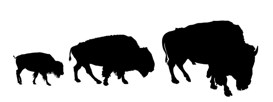 Drove of Bison family vector silhouette illustration isolated on white background. Herd of Buffalo, symbol of America. Strong animal, Indian culture. Buffalo male and female with calf.