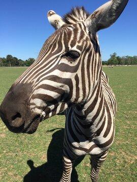zebra in a field or pasture
