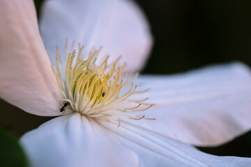 Foto op Canvas Lelie A beautiful flower of white Clematis close-up...