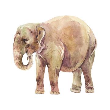 Elephant waatercolor illustration isolated on white background