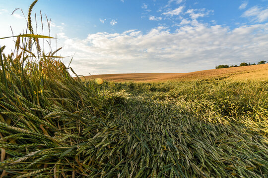 Wide angle view of a wheat field destroyed by the strong wind and bad weather