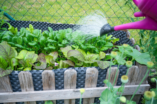 salad plants in a raised bed in the garden are watered with a watering can