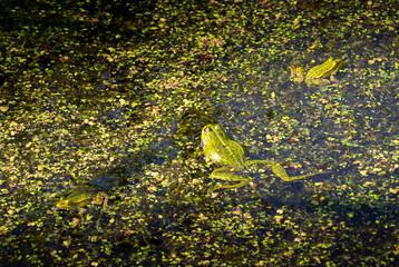 Printed kitchen splashbacks Frog Green frog in the pond