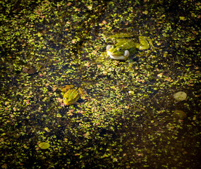 Aluminium Prints Frog Green frog in the pond