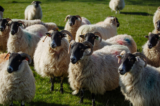 Northumbrian Sheep