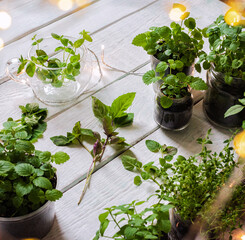 Homemade herbs in pots and glass jars (basil, mint, lemon balm) on a wooden background