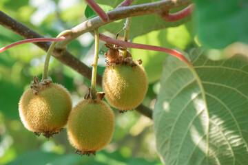 Gruppo di freschi kiwi sull'albero