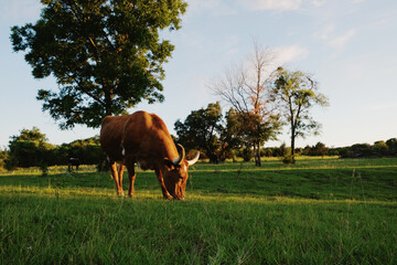Wall Mural - Texas longhorn cow grazing during summer sunset in rural field.