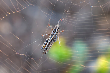 Beautiful spider on a spider web.  Beautiful spider feasting grasshopper on a spider web . Macro photo.