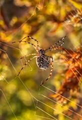Foto auf Leinwand Schmetterling Beautiful spider feasting grasshopper on a spider web . Beautiful spider on a spider web
