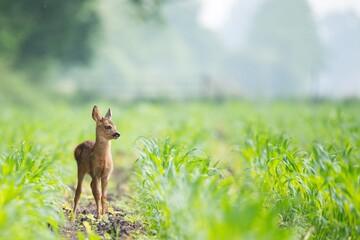 Poster Deer Baby deer on green grass