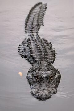 A partially submerged alligator swimming directly at the camera with a menacing look