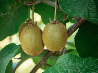 Freschi kiwi sull'albero