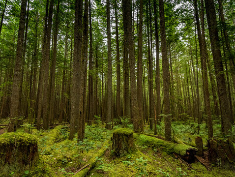 Parallel trees in the forest near Alice Lake.