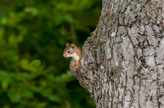 Red squirrel in tree nest