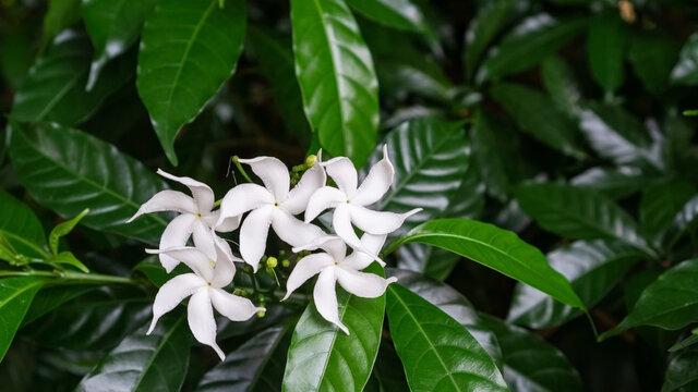 White Tabernaemontana divaricata flower in a garden.