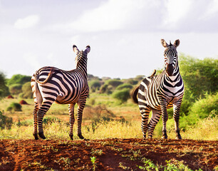 Photo sur Plexiglas Zebra Two zebras are in the wildlife reserve on the natural sky, grass, trees background. Outdoor. Kenya, Africa. Copy space.