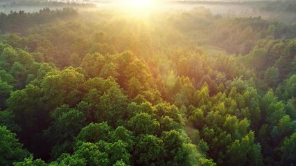 Wall Mural - Flying over green trees forest at sunrise. Sunrise in the misty forest, optical sun flare. Morning sun and fog. High quality aerial shot, 4K