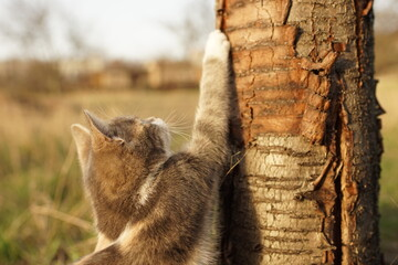 Ash spotted cat sharpens its claws on a tree trunk in the garden