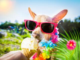 Photo sur Plexiglas Chien de Crazy dog summer vacation licking ice cream