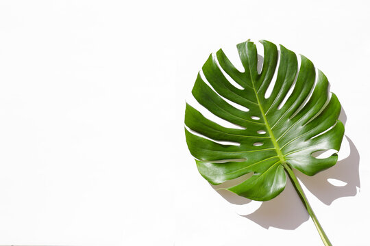 One big green monstera leaves of exotic palm tree isolated on white background. Single tropical jungle plant with visible texture. Pollution free symbol. Close up, copy space.