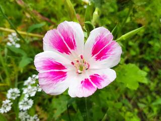 godetia also farewell to spring (in german Sommerazalee also Godetie) Clarkia amoena also Godetia amoena