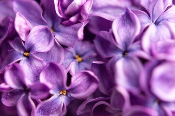 Beautiful flowering branch of lilac flowers close-up macro shot with blurry background. Spring nature floral background, pink purple lilac flowers. Greeting card banner with flowers for the holiday