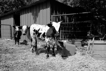 Wall Mural - Spotted calves in black and white on farm.