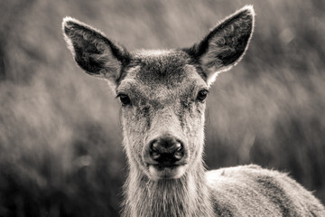 A black and white closeup of a Roe deer
