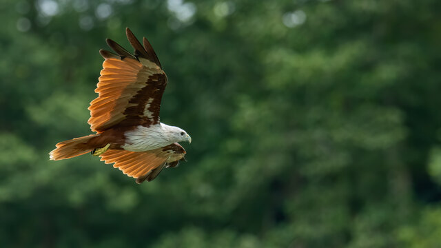 Brahminy Kite flying with blur green trees in background