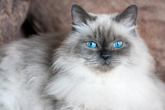 The blue eyes of a Himalayan angora cat