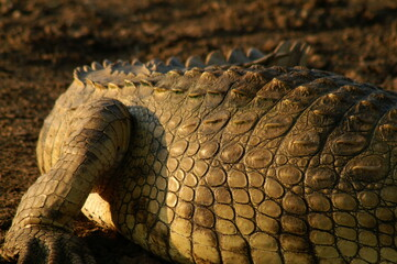 Fotobehang Krokodil close up of a crocodile