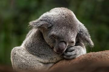 Papiers peints Koala Selective focus of a sleeping koala under the sunlight with a blurry background