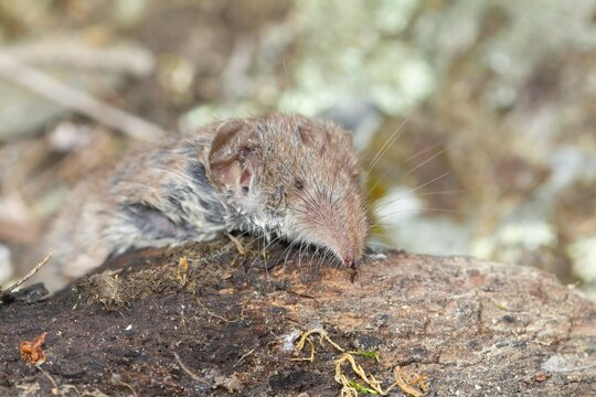 Macro closeup shot of the smallest mammal in the world known as Etruscan shrew lying on decaying log