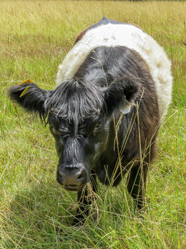 belted galloway cow eating the grass