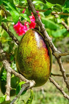 Crescentina Fruit