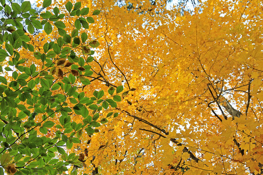 High contrast image of green and gold leaves on trees in autumn for abstract or background use