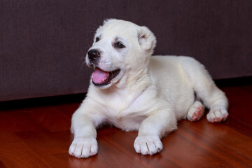 Little puppy breed Alabai