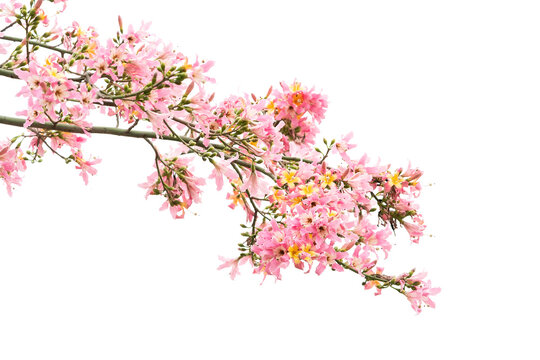 pink silk floss tree flower isolated on white background