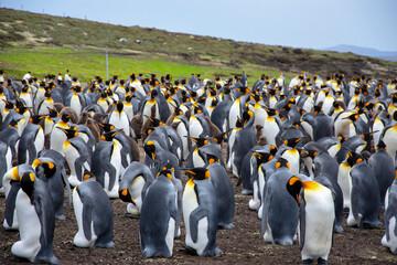 king penguin colony in Falkland islands