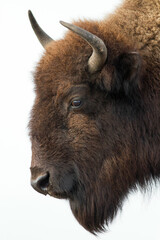 American bison head isolated on white background.