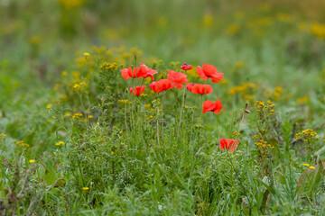 Printed kitchen splashbacks Flower shop red poppy flowers