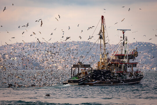 Fishing boat heavily loaded by fishes in its back is being followed by hundreds of seagulls so that they can be fed as well. Seagull attack to fishing boat in Istanbul, Bosporus. Fishing season.