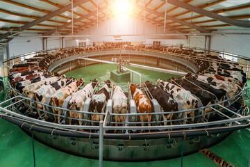 Fototapeta Milking cows by automatic industrial milking rotary system in modern diary farm obraz