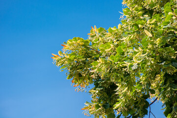 lush linden branch in green foliage. summer nature background. sunny weather with blue sky