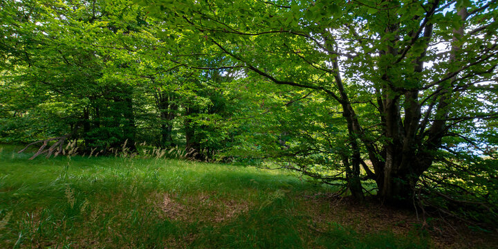 green beech forest in summer. wonderful nature background. lush foliage. glade in the shade of trees