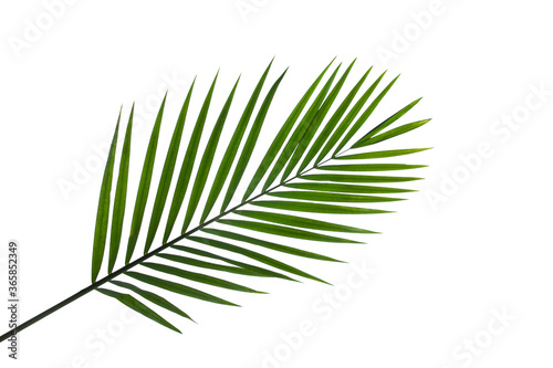 Wall mural leaves of coconut palm tree isolated on white background with clipping path for design elements, tropical leaf, summer background