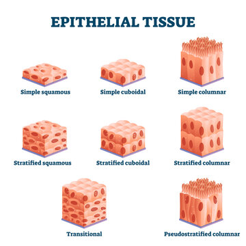 Epithelial tissue with labeled squamous, cuboidal and columnar examples.
