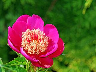 Obraz Czerwony kwiat piwonii - fototapety do salonu