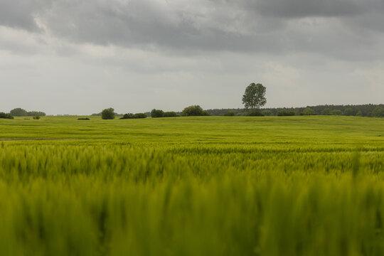 Gerstenfeld und graue Wolken